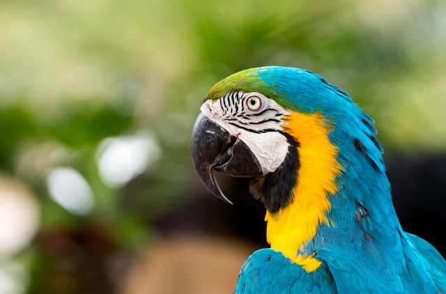 Close up of blue macaw grabing on timer; blue and gold parrot with copy space